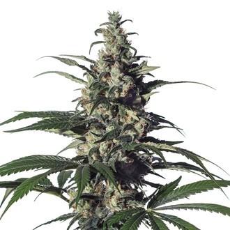 Green Doctor (GD-1) (Medical Marijuana Genetics) feminizada
