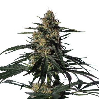 Nightingale (NN-1) (Medical Marijuana Genetics) feminizada