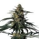 Nightingale (NN-1) (Medical Marijuana Genetics) feminizada