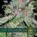 Doctor Jamaica (Vision Seeds) feminizada