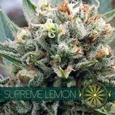 Supreme Lemon (Vision Seeds) feminizada