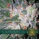 Tom Kush OG (Vision Seeds) feminizada