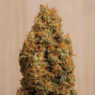 Green Crack CBD (Humboldt Seeds) feminizada