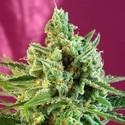 S.A.D. Sweet Afgani Delicious CBD (Sweet Seeds) feminizada