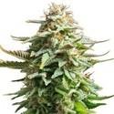 Pineapple Kush (Zativo Seeds) feminizada