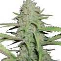 Sweet Bubble (Zativo Seeds) feminizada