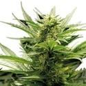 Sour Diesel (Zativo Seeds) feminizada