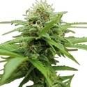 Moby XL (Zativo Seeds) feminizada