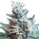 Sweet Candy (Zativo Seeds) feminizada