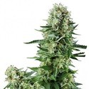 White Widow (Zativo Seeds) feminizada