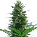 Cheese (Zativo Seeds) feminizada