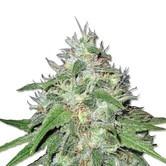 Amnesia Haze (Sensation Seeds) feminizada