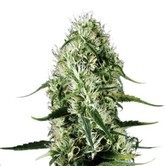 Super Silver Haze (Sensation Seeds) feminizada
