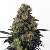 Acid Dough (Ripper Seeds) feminizada