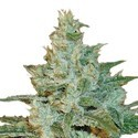 AK 47 (Sensation Seeds) feminizada
