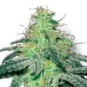 White Widow (Sensation Seeds) feminizada