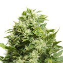 Cheese (Sensation Seeds) feminized