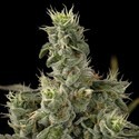 Nicole Kush (DNA Genetics) feminized