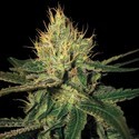 Cannalope Haze (DNA Genetics) feminized