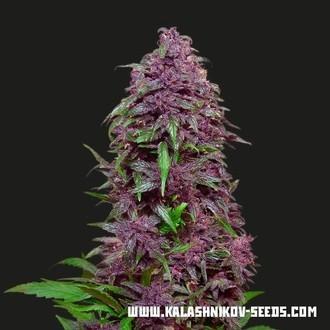 Purple Mazar Auto (Kalashnikov Seeds) feminizada