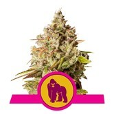 Royal Gorilla (Royal Queen Seeds) feminizada