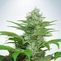 Auto CBD Star (Ministry of Cannabis) feminizada