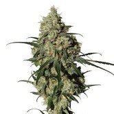 Orinoco (OR-1) (Medical Marijuana Genetics) feminizada