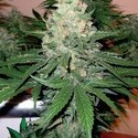 60 Day Wonder (DNA Genetics) feminized
