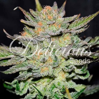 Auto Blue Ace CBD (Delicious Seeds) Feminizada
