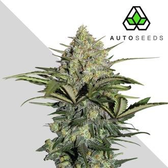 Gorilla Glue Auto (Auto Seeds) feminizada