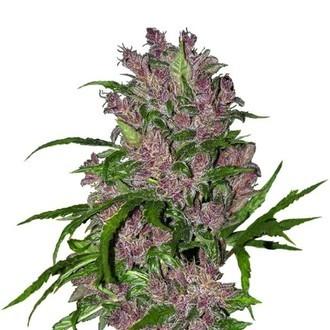 Purple Bud Automatic (White Label) Feminizada