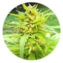 Golden Cannary (Top Tao Seeds) regular