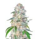 Blue Dream´matic (FastBuds) feminizada