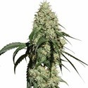Nagual (NG-1) (Medical Marijuana Genetics) feminizada