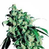 Super Skunk (Sensi Seeds) feminizada