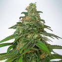 Auto Mandarin Haze (Ministry Of Cannabis) feminizada