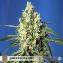 Green Poison CBD (Sweet Seeds) feminizada