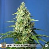 Honey Peach Auto CBD (Sweet Seeds) femnized