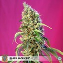 Black Jack CBD (Sweet Seeds) feminizada