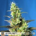 Ice Cool CBD (Sweet Seeds) feminizada