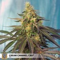 Cream Caramel CBD (Sweet Seeds) Feminizada