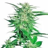 Big Bud (Sensi Seeds) feminizada