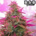 Auto Sweet Tooth (BSB Genetics) feminizada