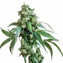 Jack Flash 5 (Sensi Seeds) feminizada