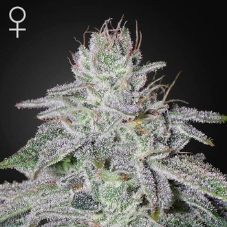 Franco's Lemon Cheese (Greenhouse Seeds) Feminizada