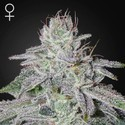 Franco's Lemon Cheese (Green House Seeds) Feminizada