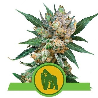 Royal Gorilla Automatic (Royal Queen Seeds) Feminizada