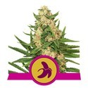 Fat Banana (Royal Queen Seeds) Feminizada