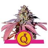 Purple Queen (Royal Queen Seeds) feminizada
