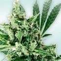 Atlant CBD (VIP Seeds) Feminizada